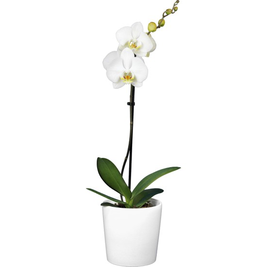 Solo Plant Tek Dallı Beyaz Orkide
