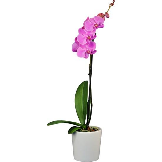 Solo Plant Tek Dallı Mor Orkide