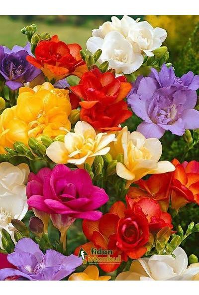 Karışık Renk Katmerli Frezya Çiçeği Soğanı 5 Adet