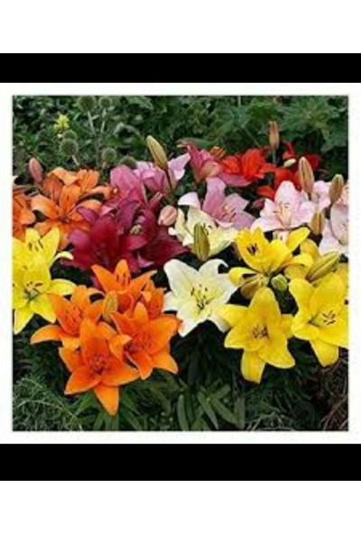Karışık Renkli Kokulu Zambak Soğanı 5 Adet (Sarı- Pembe- Turuncu) Ücretsiz Kargo