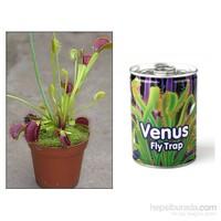 Sinek Yiyen Etobur Bitki Yetiştirme Kiti (Venus Flytrap)