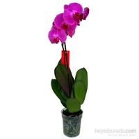 Tek Dal Leylak (Phalaenopsis) Orkide 60-70 cm