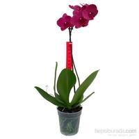 Tek Dal Bordo (Phalaenopsis) Orkide 60-70 cm