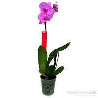 Tek Dal Lila (Phalaenopsis) Orkide 60-70 cm