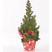 Greenmall Canlı Çam Ağacı 40 cm