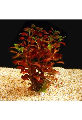 Akvaryumbitkileri Ludwegia Repens 'Rubin' 1 Bağ Akvaryum Bitkisi 5 Kök