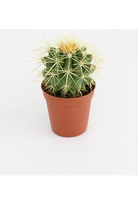 Kaktüs Teraryum Bitkisi 9 cm