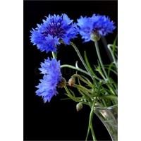 Agrobazaar Mavi Kantaron Çiçeği Tohumu + 20'litohum