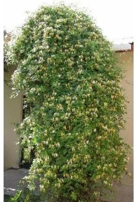 Lonicera Sarı-Beyaz Kokulu Hanımeli Çiçeği, Kargo Dahil