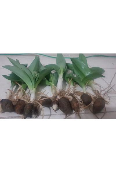 Kırkpınar Çiftliği Salep Orkidesi Yumrusu 1 kg