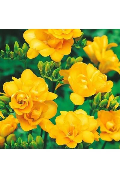 Safir Garden Sarı Katmerli Frezya Çiçeği Soğanı 5 Adet