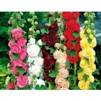 Bahçe Tohum Karışık Renkli Katmerli Dev Çiçekli Gül Hatmi