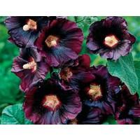 Bahçe Tohum Siyah Renkli Dev Çiçekli Gül Hatmi