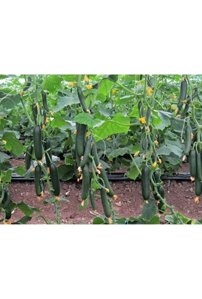 Gülderen Tarım Sırık Salatalık Fidesi 10'lu