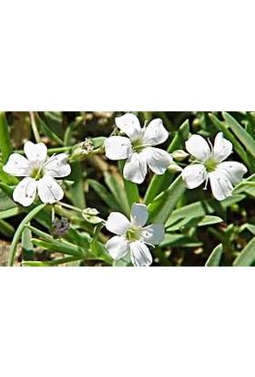 Agrobazaar Çöven Çiçeği Tohumu 40'lı Tohum