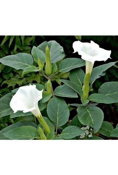 Agrobazaar Gece Güzeli Çiçeği Tohumu