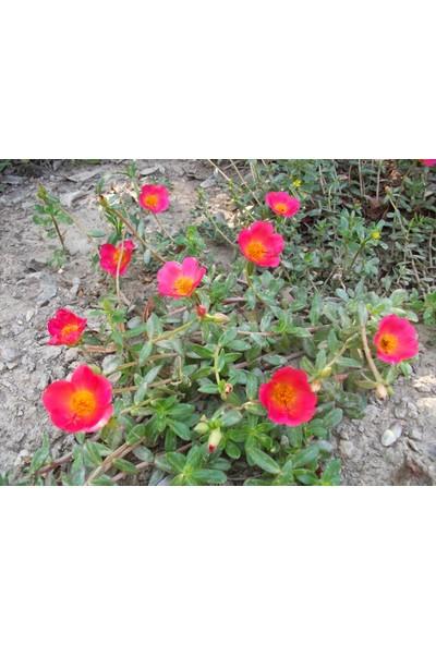 Agrobazaar Semizotu Çiçeği Tohumu