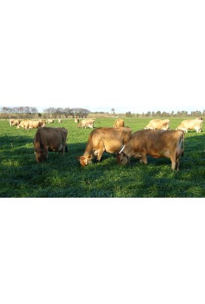 Agrobazaar Süt Otu Tohumu Ryegrass Otu Tohumu 5 kg