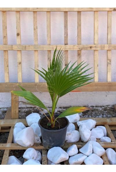 Berr Palmiye Ağacı Palm Tree