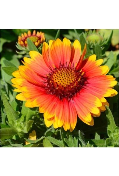 Agrobazaar Gaillardia Çiçeği Gayret Çiçeği Tohumu