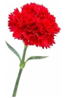 Agrobazaar Kırmızı Karanfil Çiçeği Tohumu 25 Adet Tohum