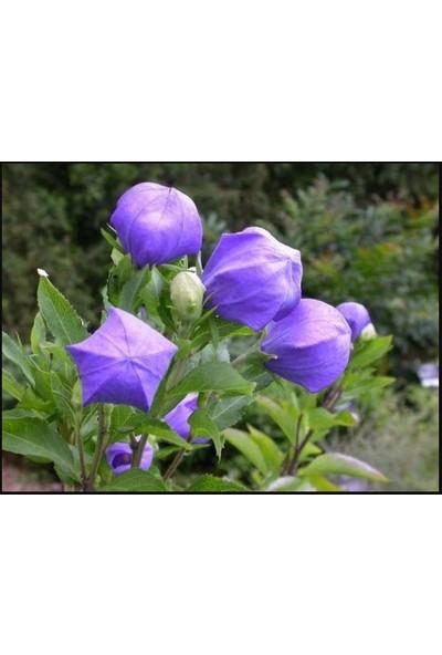 Agrobazaar Balon Çiçeği Tohumu 40 Tohum