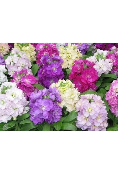Agrobazaar Karışık Renkli Şebboy Çiçeği Tohumu 50 Tohum