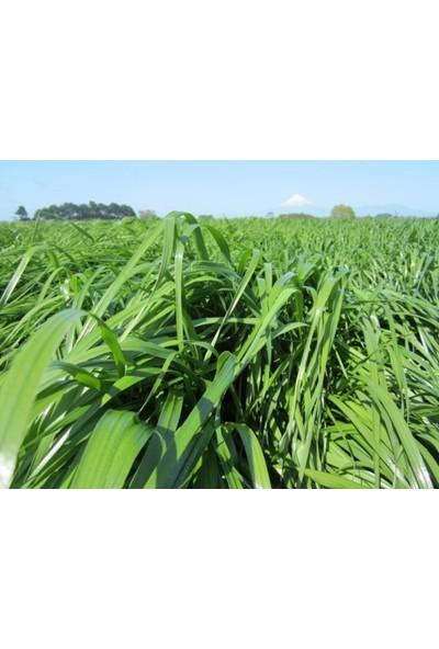 Agrobazaar Süt Otu Tohumu Ryegrass Otu Tohumu 25 kg