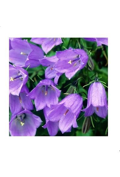 Agrodal Tarım Çan/kadeh Çiçeği Tohumu