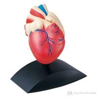 Kalp Modeli (1X1)