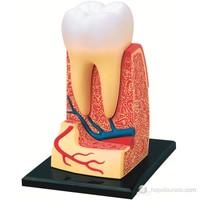 İnsan Anatomisi Puzzle - Üç Köklü Azı Dişi Modeli Yapbozu