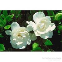 Plantistanbul Gardenia Bitkisi, 20-40 Cm