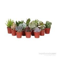 Plantistanbul Mini Sukkelent Çeşitleri, 10 Adet