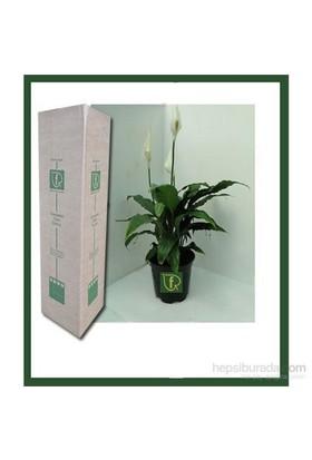 Plantistanbul Spathiphyllum Wallisii (Barış Çiçeği)