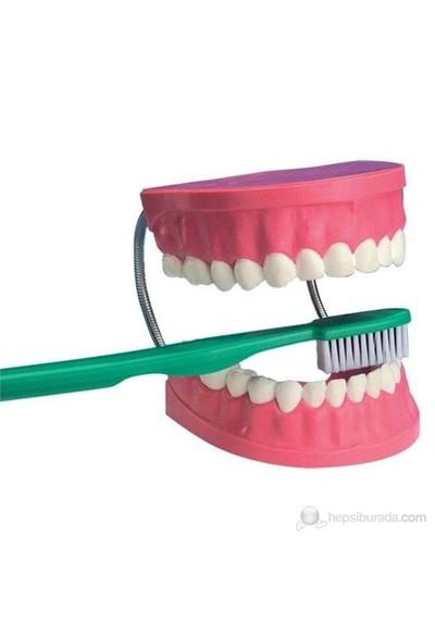 Dev Diş Modeli 2X Boyutunda- Diş Fırçası İle Birlikte