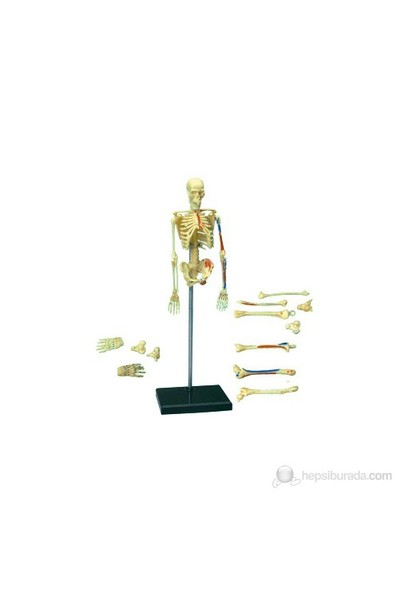 İnsan Anatomisi Puzzle - İnsan İskeleti Modeli Yapbozu
