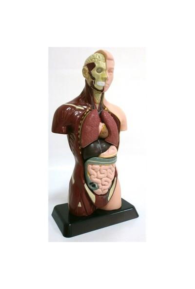 Eduscience İnsan Vücudu Küçük 8 Parça 27 Cm
