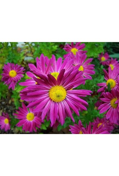 Agrodal Tarım Kraliçe Papatya Çiçeği Tohumu