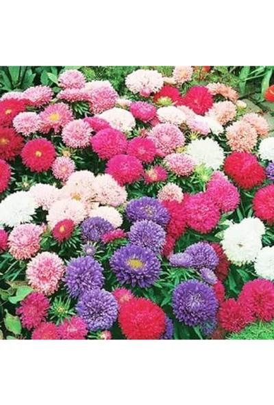 Agrodal Tarım Saraypatı Bodur Çiçeği Tohumu