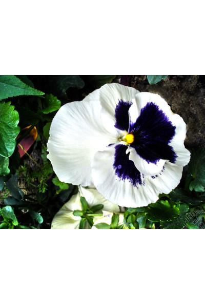 Agrodal Tarım Hercai Menekşe Beyaz Çiçeği Tohumu