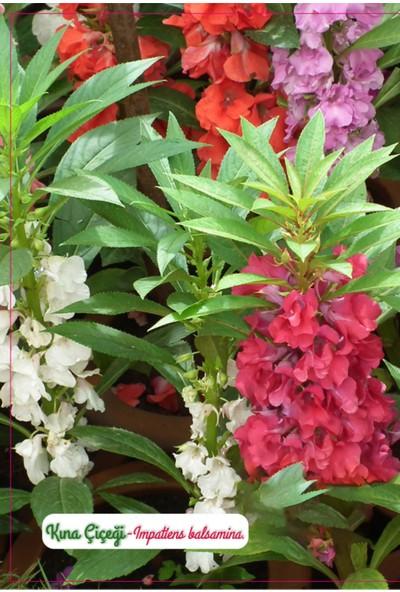 Agrodal Tarım Kına Çiçeği Tohumu