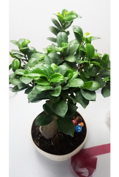 Nemisia Hasır Saksılı Bonsai Canlı Çiçek
