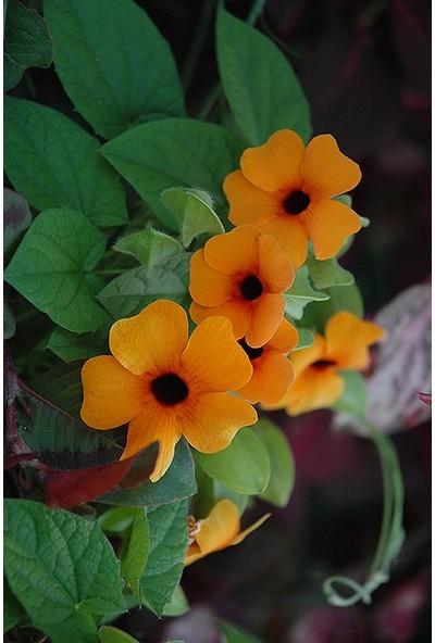 Agrodal Tarım Thunbergia Çiçeği Tohumu
