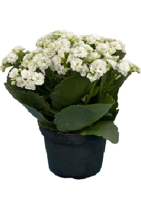Mermaid Home Kalanchoe - Kalanşo Çiçeği (Beyaz Çiçekli)