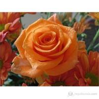 Plantistanbul Aşılı Gül Fidanı Kayısı Renkli