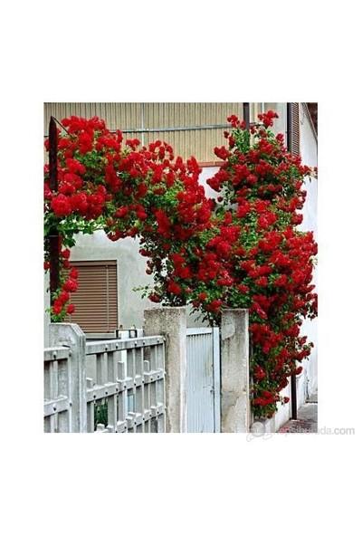 Plantistanbul Kırmızı Sarmaşık Gül Fidanı
