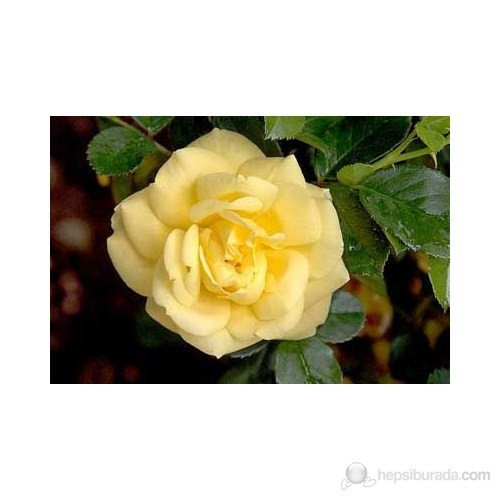 Plantistanbul Aşılı Gül Fidanı Sarı