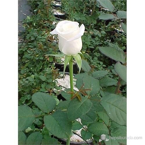 Plantistanbul Aşılı Gül Fidanı Beyaz