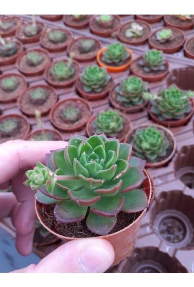 Fin Tarla Sedeveria Letiza Çiçek 5.5 cm