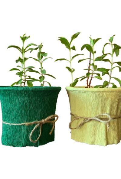 Eget Saksıda Katmerli Sabunçiçeği 2 Saksı
